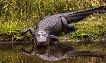It's time to apply for South Carolina's 2018 alligator hunting season.