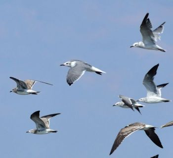Seagulls and other diving birds will give away the presence of Spanish mackerel feeding on baitfish at the surface.