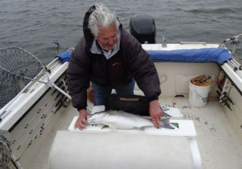Anglers fishing the Santee Cooper system will have to be more careful measuring stripers with a new slot limit in effect.