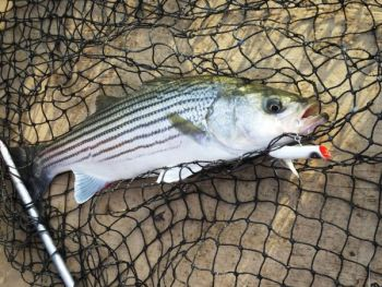 Keep a topwater plug or bucktail ready when stripers school at the surface.