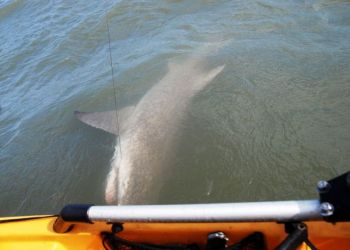 The author snapped this cell-phone photo of a 71/2-foot blacktip shark he caught — his personal best from a kayak.