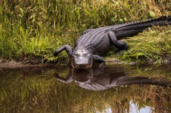 North Carolina will open alligator season in three areas of Hyde County this fall.