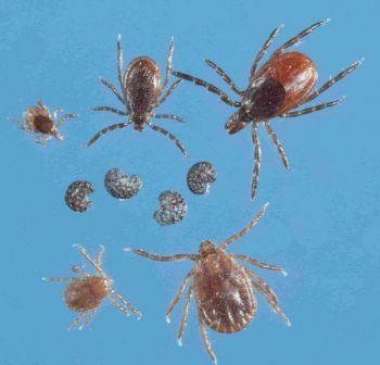 The Longhorned tick, sometimes called the East Asian tick, was discovered in NC for the first time in July, 2018 in Polk County.