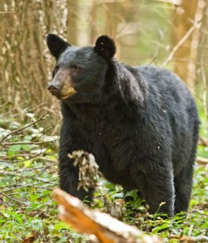 South Carolina hunters have two weeks of bear hunting in the mountains of the Upstate — one for still-hunting and one for hunting with dogs.