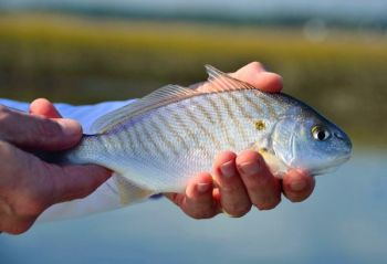 The spot run will draw loads of anglers to Murrells Inlet in October.