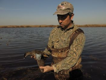 Smaller duck species like this teal are among the first to migrate south in the fall, followed by bigger ducks, geese and swans.