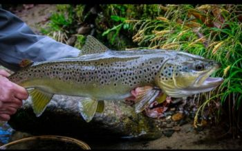 Fishermen aren't likely to hook into as many trout during the winter, but fishing slowly, covering water thoroughly, and using the right nymphs, might get you a hookup with an extra-big brown trout like this one.