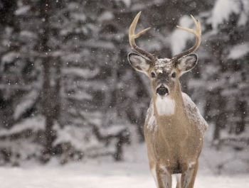 Get in the woods before a snowstorm hits and you'll have a great opportunity to score a nice buck.