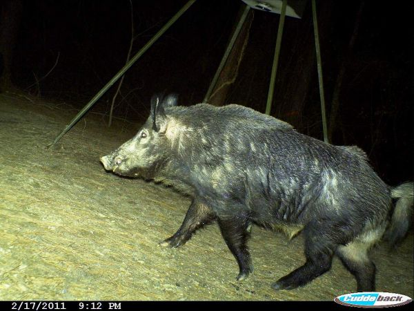 most of the activity involving wild hogs is after dark hunters pursue them then with