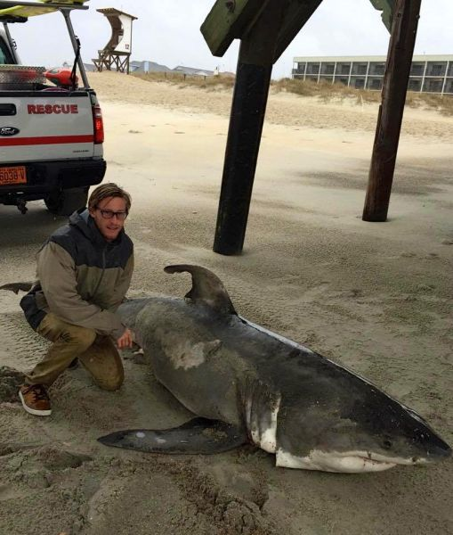 This 8 Foot Great White Shark Washed As Near The Crystal Pier On Wrightsville Beach